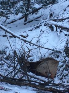 Bull in Creekbed